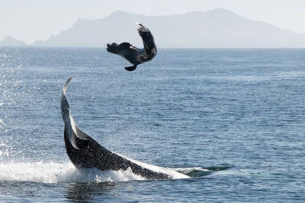 Strategi Berburu ORCA ! Wolf of the Sea