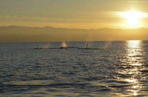 Orca social feeding off Victoria, BC