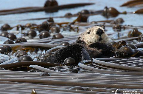 Sea Otter Songhees Cultural Tour Victoria BC